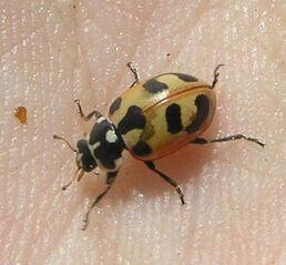 Parenthesis ladybird