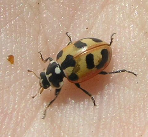 File:Parenthesis ladybird.jpg