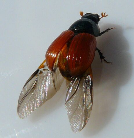 File:Aphodius fimetarius3.jpg