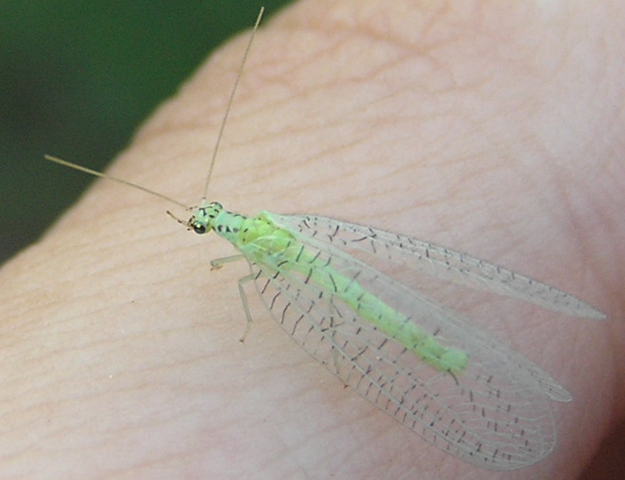 File:Chrysopa chi 3.png