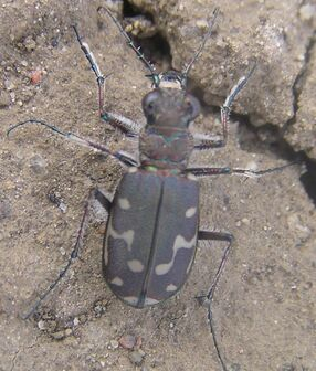 12-spotted tiger beetle 2