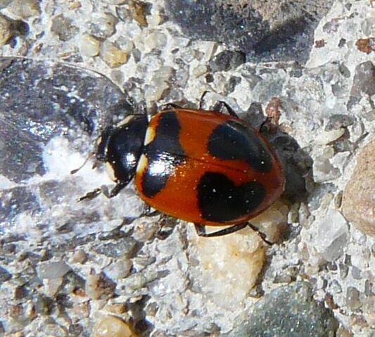 File:High country ladybird2.jpg