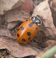 Sinuate ladybird 2
