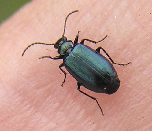File:Lebia viridis thumb.jpg