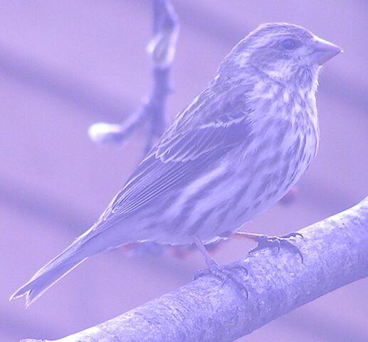 File:Purple Finch female 1.jpg