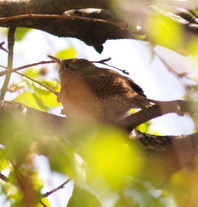 File:House Wren2.jpg