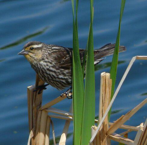 File:Red-winged Blackbird female.jpg