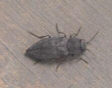 Jewel beetle3