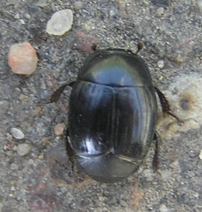 File:Hister beetle.png