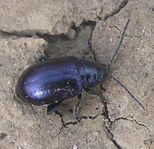Dark metallic blue flea beetle