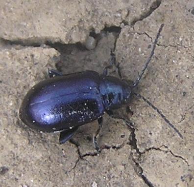 File:Dark metallic blue flea beetle.jpg