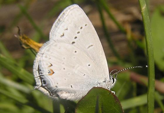File:Western tailed blue thumb pic.jpg