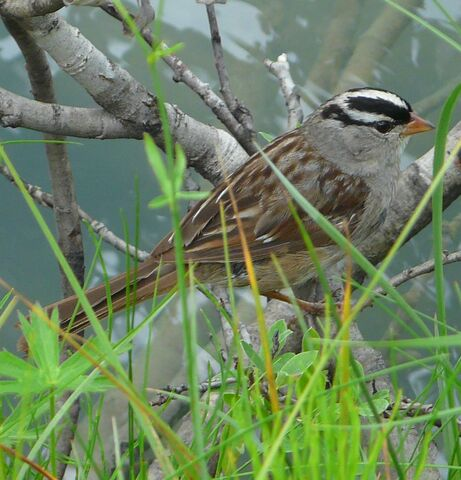 File:White-crowned Sparrow.jpg