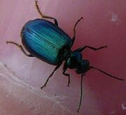 Lebia viridis2