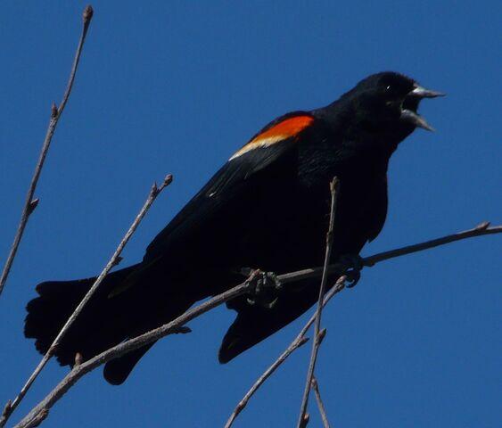 File:Red-winged blackbird 4.jpg