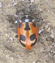 Parenthesis ladybird red