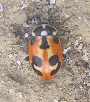 File:Parenthesis ladybird red.jpg