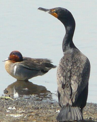 File:Double-crested Cormorant.jpg