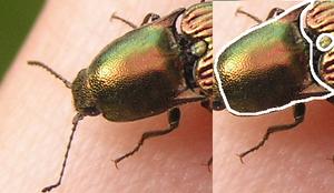 Resplendant Click beetle diagram