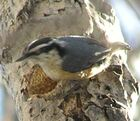 Red-breasted Nuthatch2