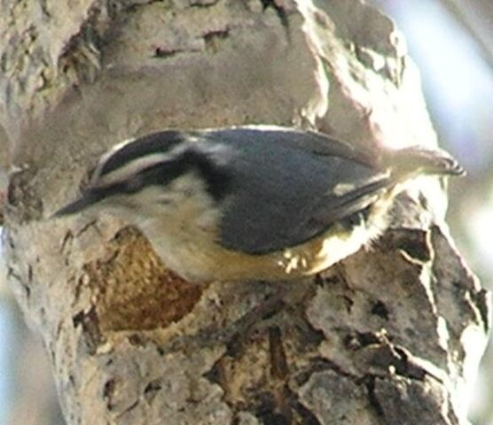 File:Red-breasted Nuthatch2.jpg