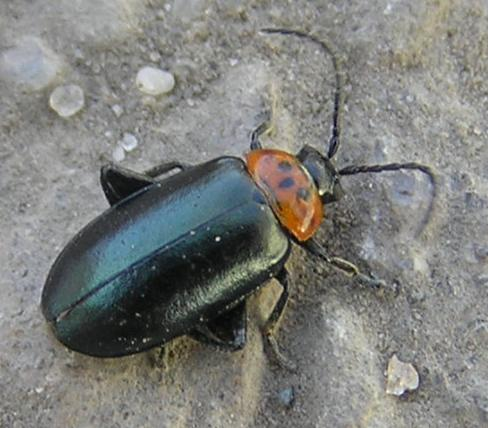 File:Large flea beetle.jpg