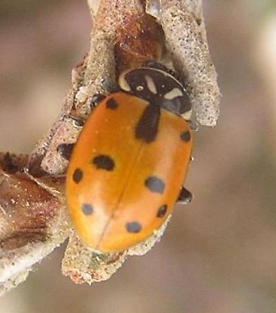 File:Sinuate ladybird 3.jpg