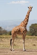 Reticulated-Giraffe-3042