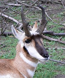 File:Pronghorn Closup.jpg