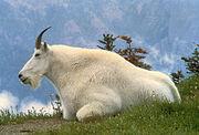 Mountin Goat