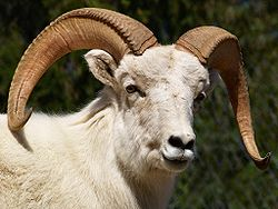 File:Dall Sheep Ram.jpg