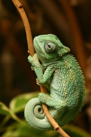 Kameleon-ovaaaaaaa-za-pozadinuuu-bolja