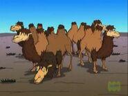 Milking Camels