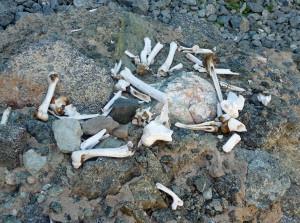 File:Willow-Canyon-bones-1-.jpg