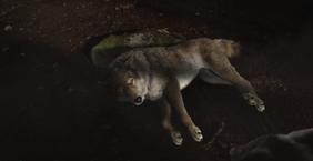 WB Wolf 49
