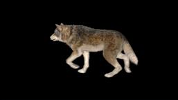 WB Wolf 46