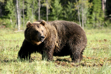 Eurasian-brown-bear-93181990