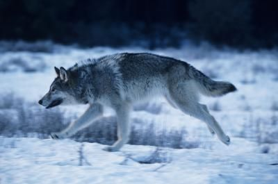 File:Article-new ehow images a08 5j pi draw-wolf-legs-800x800.jpg