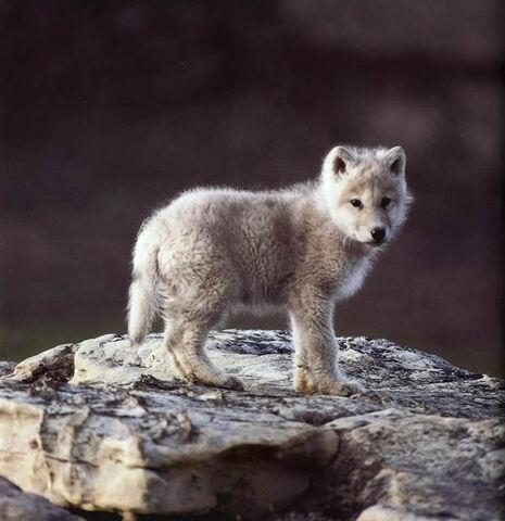 File:Roisethewolf.jpg