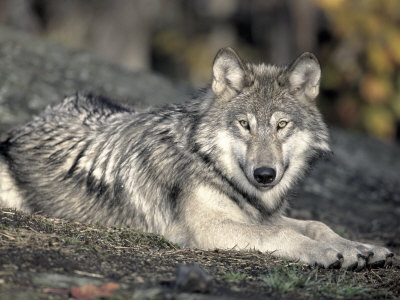 File:Reinhold-ralph-female-timber-wolf-resting-northern-canada.jpg