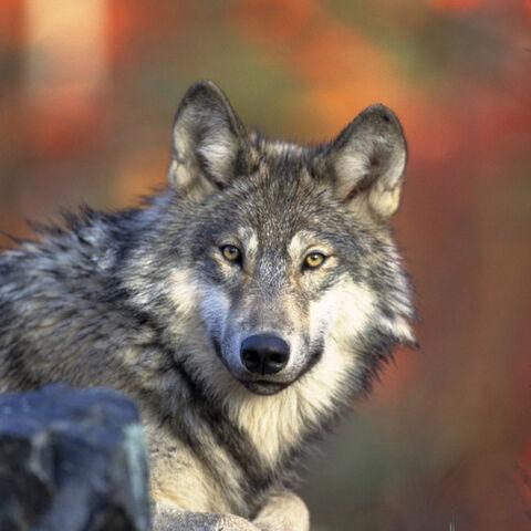 File:Gray-wolf-2.jpg