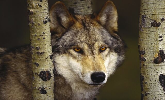 File:Watcher in the Woods Grey Wolf.jpg