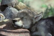 Animals other sleeping-pup 74098