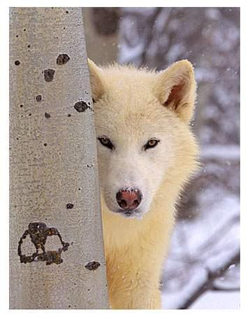 File:Blizzy-wolf.jpg