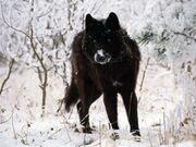 Black-wolf-in-snow-beautiful-eyes-kewl-1