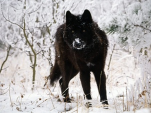 File:Black-wolf-in-snow-beautiful-eyes-kewl-1.jpeg