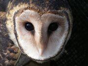 Masked-owl