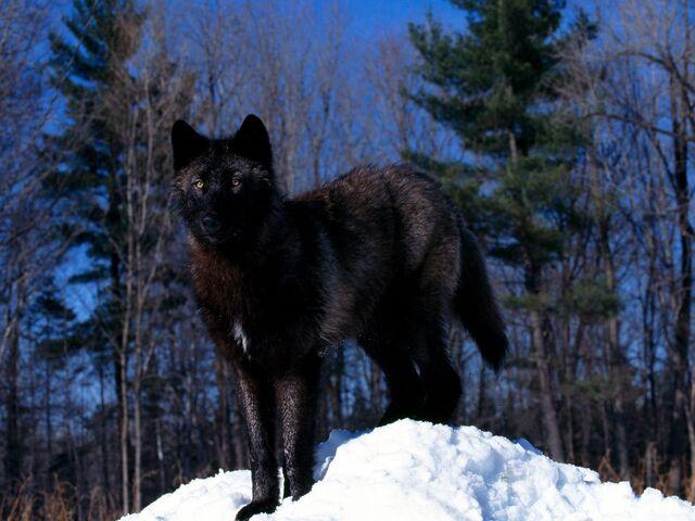 File:Black Wolf in Snow.jpg