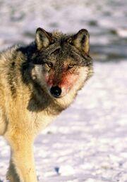Wolf-Gray-35612