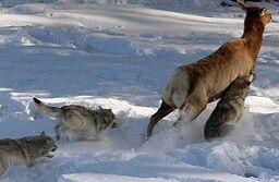 Elk-running-from-wolves